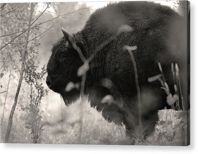 Buffalo In Grass Profile - Acrylic Print from Wallasso - The Wall Art Superstore