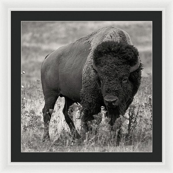 Buffalo In Grass - Framed Print from Wallasso - The Wall Art Superstore