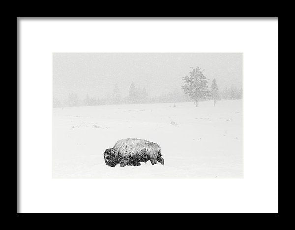 Buffalo In Heavy Snow - Framed Print from Wallasso - The Wall Art Superstore