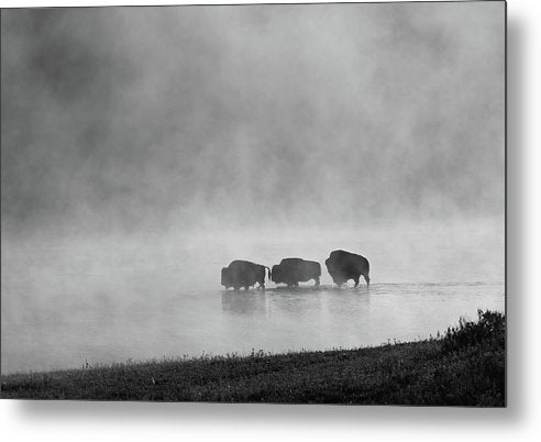 Buffalo In Lake With Fog - Metal Print from Wallasso - The Wall Art Superstore