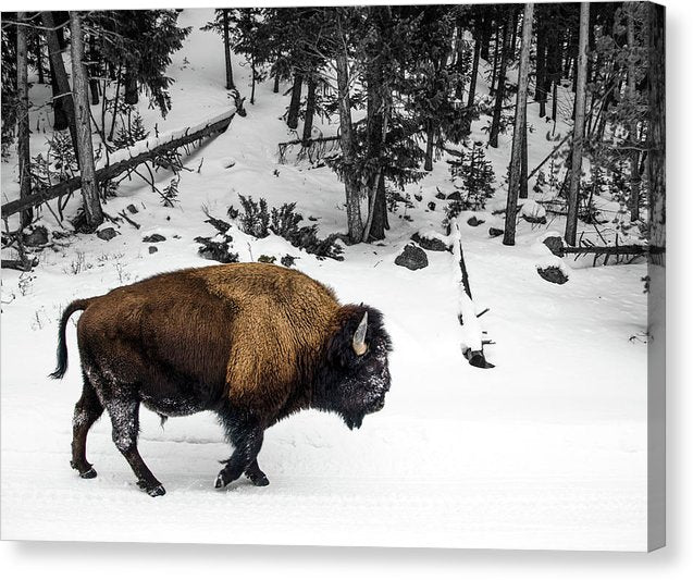 Buffalo In Snowy Forest - Canvas Print from Wallasso - The Wall Art Superstore