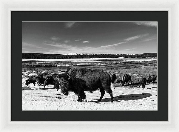 Buffalo In Yellowstone National Park - Framed Print from Wallasso - The Wall Art Superstore