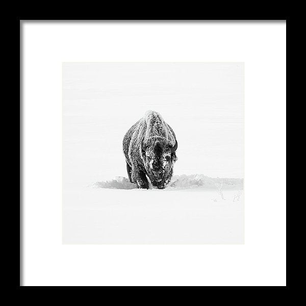 Buffalo Standing In Deep Snow - Framed Print from Wallasso - The Wall Art Superstore
