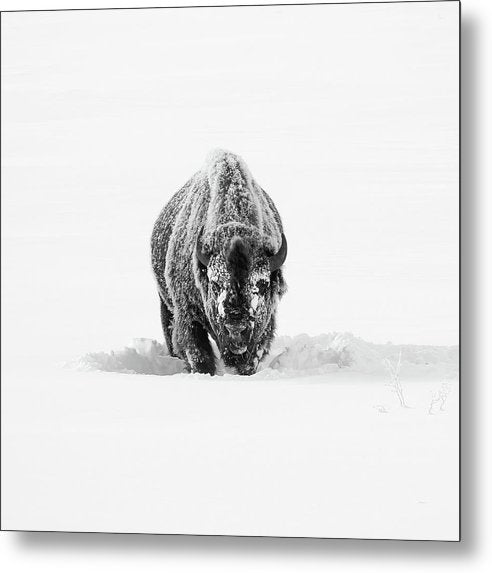 Buffalo Standing In Deep Snow - Metal Print from Wallasso - The Wall Art Superstore