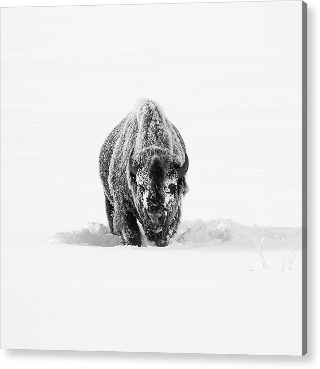 Buffalo Standing In Deep Snow - Acrylic Print from Wallasso - The Wall Art Superstore