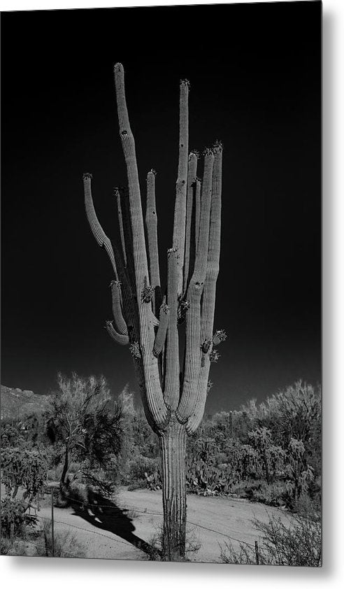 Dramatic Saguaro Cactus With Many Arms - Metal Print from Wallasso - The Wall Art Superstore