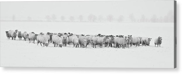 Flock of Sheep In Snow Panorama - Acrylic Print from Wallasso - The Wall Art Superstore