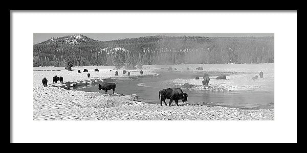 Herd of Buffalo At Snowy River, Panorama - Framed Print from Wallasso - The Wall Art Superstore