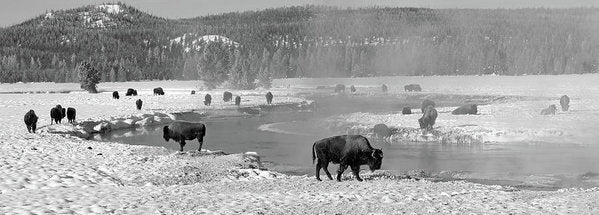 Herd of Buffalo At Snowy River, Panorama - Art Print from Wallasso - The Wall Art Superstore