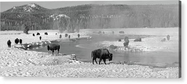 Herd of Buffalo At Snowy River, Panorama - Acrylic Print from Wallasso - The Wall Art Superstore