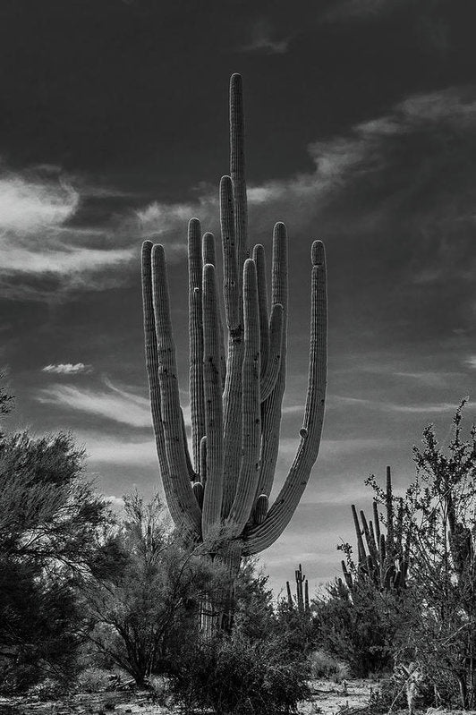 Large Saguaro Cactus With Many Arms - Art Print from Wallasso - The Wall Art Superstore