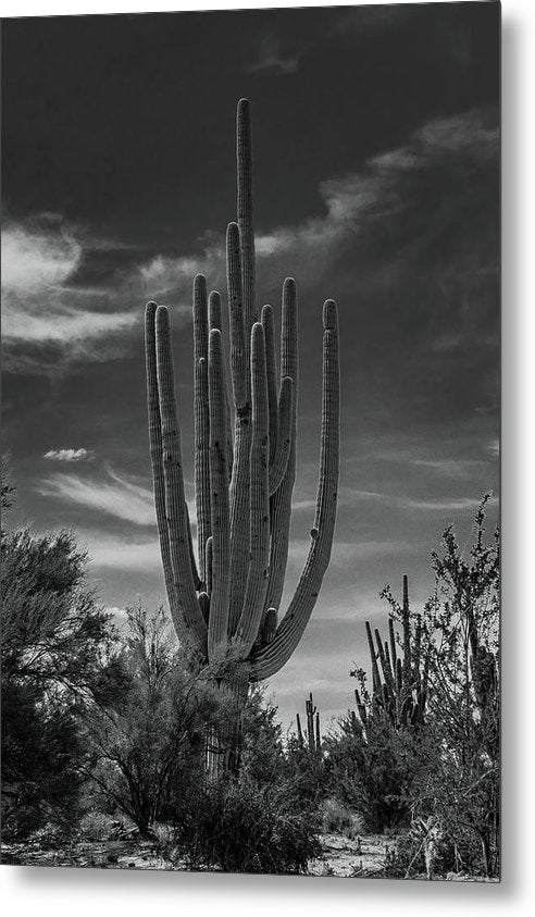 Large Saguaro Cactus With Many Arms - Metal Print from Wallasso - The Wall Art Superstore
