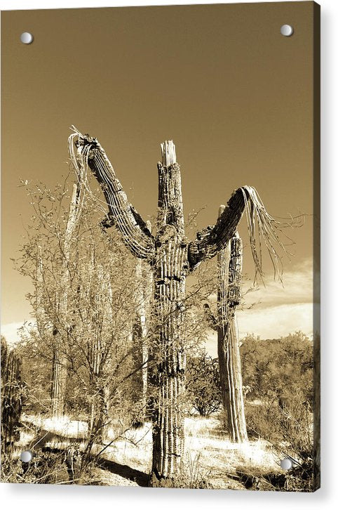 Remains of Dead Saguaro Cactus - Acrylic Print from Wallasso - The Wall Art Superstore
