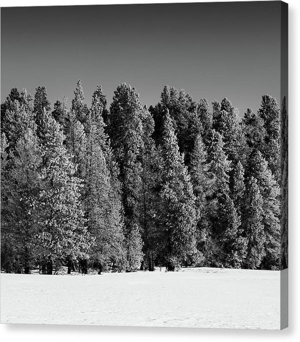Snowy Trees In Yellowstone National Park - Canvas Print from Wallasso - The Wall Art Superstore