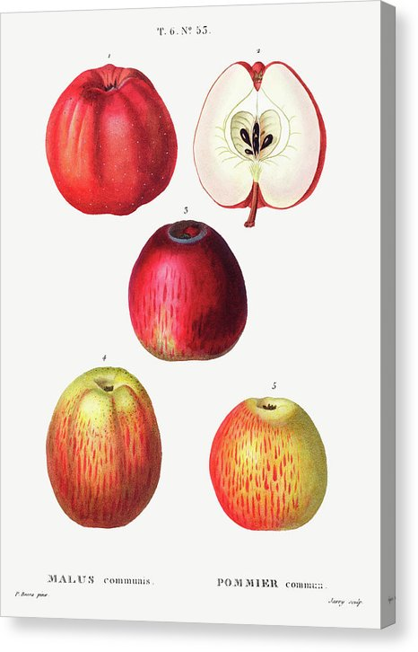 Vintage Apple Illustration - Canvas Print from Wallasso - The Wall Art Superstore
