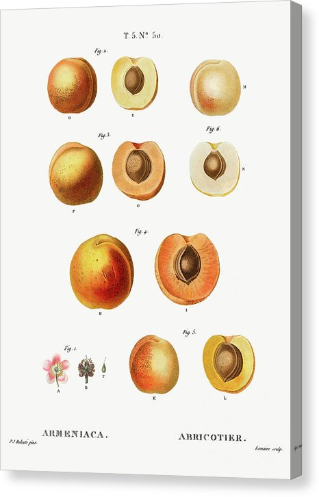 Vintage Apricot Illustration - Canvas Print from Wallasso - The Wall Art Superstore