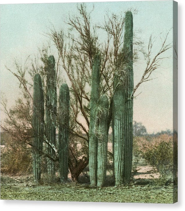 Vintage Arizona Cactus Postcard (Square) - Canvas Print from Wallasso - The Wall Art Superstore