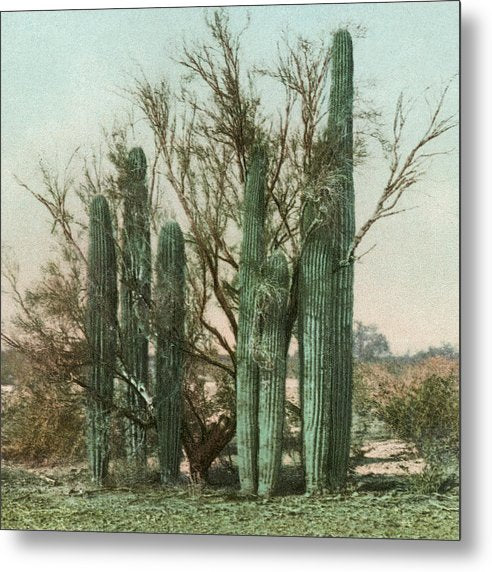 Vintage Arizona Cactus Postcard (Square) - Metal Print from Wallasso - The Wall Art Superstore