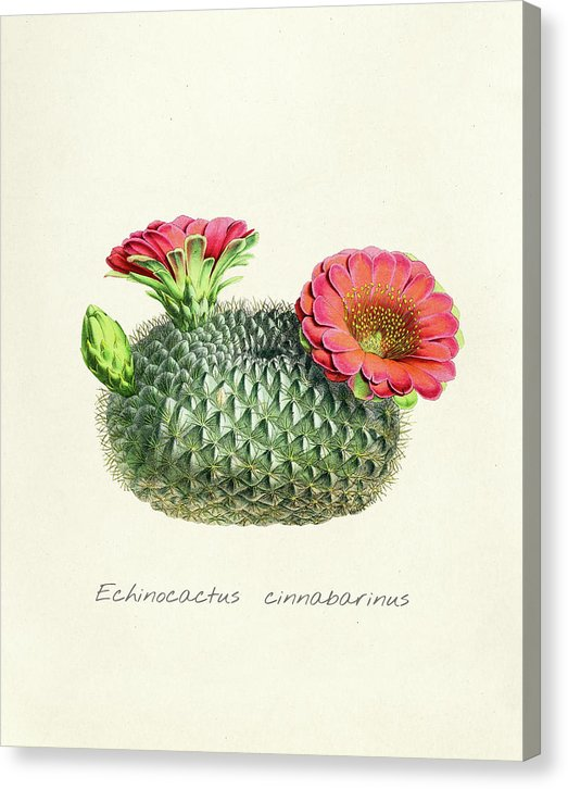 Vintage Echinocactus Cinnabarinus Cactus Illustration With Red Flowers - Canvas Print from Wallasso - The Wall Art Superstore