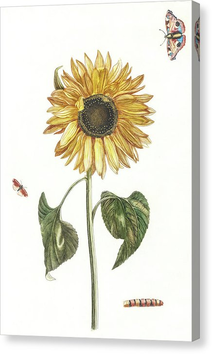 Vintage Sunflower and Butterfly Illustration - Canvas Print from Wallasso - The Wall Art Superstore