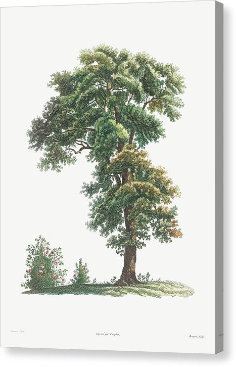 Vintage Tree Illustration, 1805 - Canvas Print from Wallasso - The Wall Art Superstore