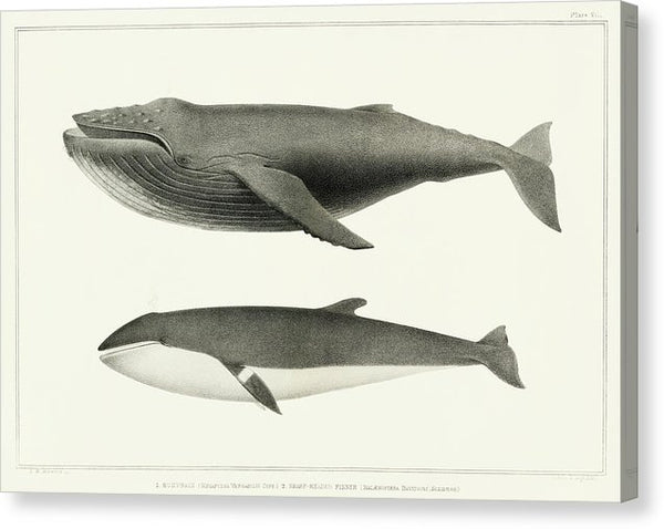 Vintage Whale Illustration, Humpback Whale and Minke Whale - Canvas Print from Wallasso - The Wall Art Superstore