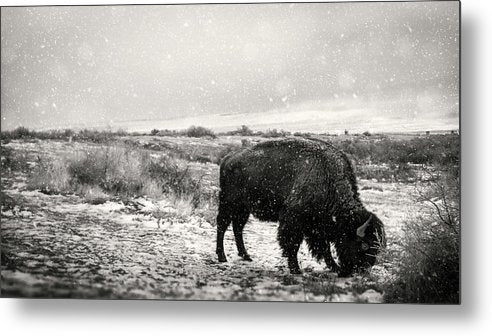 Young Buffalo Grazing In Snow, Sepia - Metal Print from Wallasso - The Wall Art Superstore