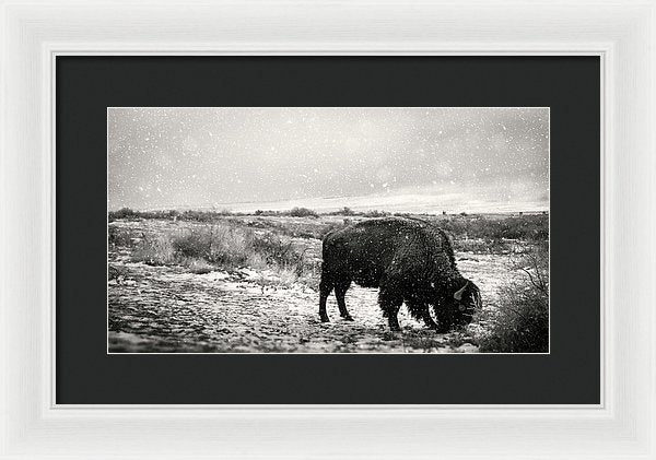 Young Buffalo Grazing In Snow, Sepia - Framed Print from Wallasso - The Wall Art Superstore