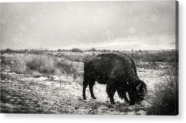 Young Buffalo Grazing In Snow, Sepia - Acrylic Print from Wallasso - The Wall Art Superstore