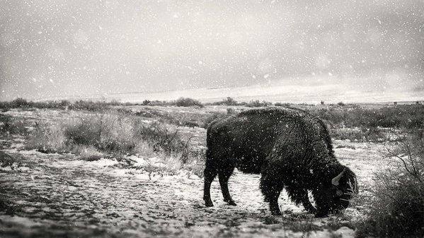 Young Buffalo Grazing In Snow, Sepia - Art Print from Wallasso - The Wall Art Superstore