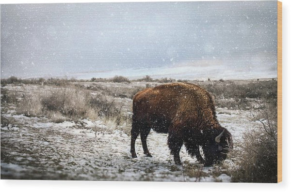 Young Buffalo Grazing In Snow - Wood Print from Wallasso - The Wall Art Superstore