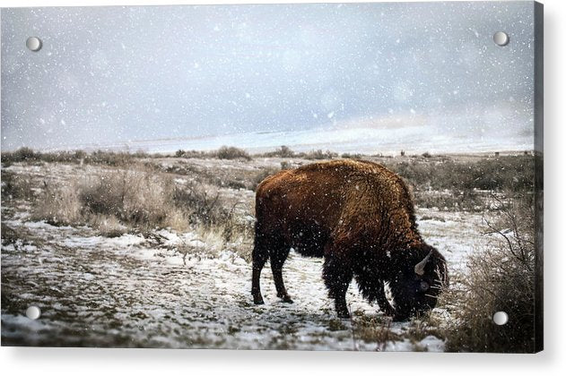 Young Buffalo Grazing In Snow - Acrylic Print from Wallasso - The Wall Art Superstore