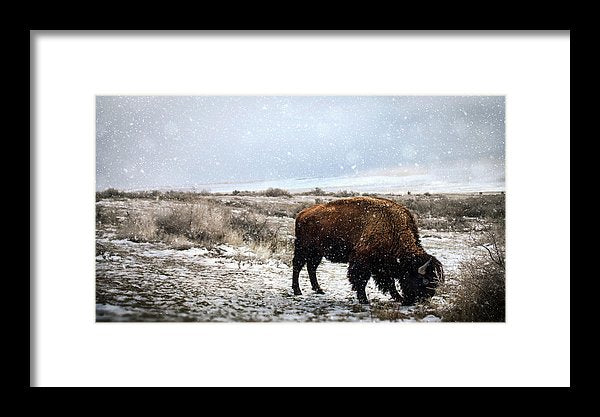 Young Buffalo Grazing In Snow - Framed Print from Wallasso - The Wall Art Superstore
