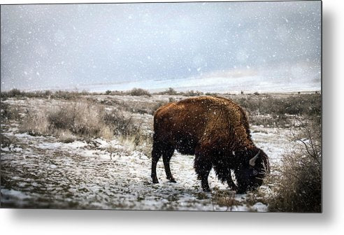 Young Buffalo Grazing In Snow - Metal Print from Wallasso - The Wall Art Superstore