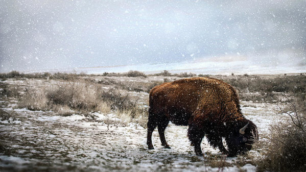 Young Buffalo Grazing In Snow - Art Print from Wallasso - The Wall Art Superstore