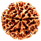 Original 7 mukhi / Seven Faced Nepali Rudraksha bead with Lab Certificate