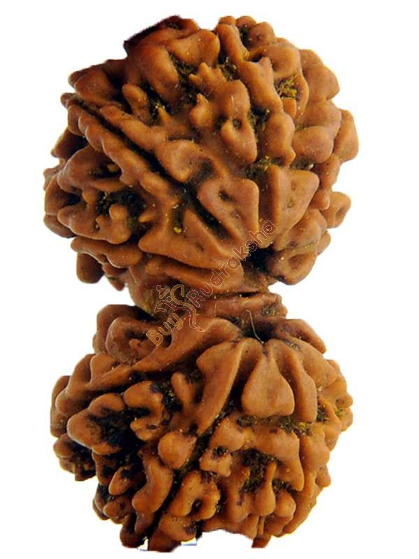 Buy Original Gauri Shakar Nepali Rudraksha Bead with LAB CERTIFICATE Online at best price