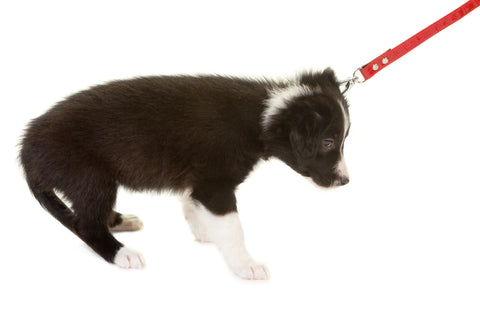 Puppy dog pulling on dog collar