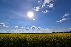 Sun and clouds over a corn fields