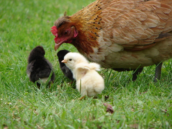 Chicken with chicks in a yard