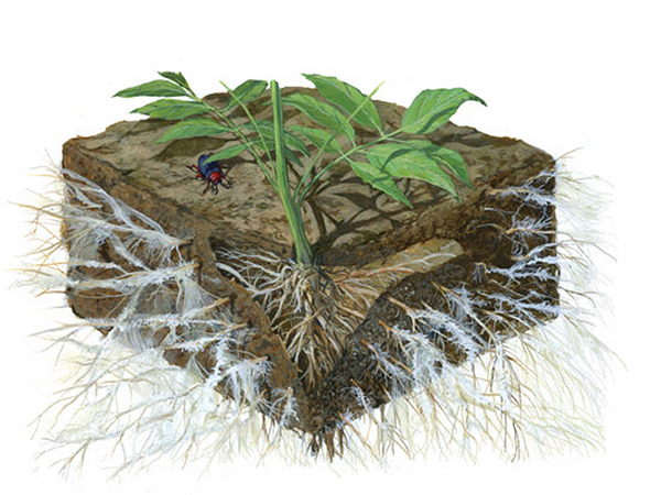 Mycorrhizae on plant roots image