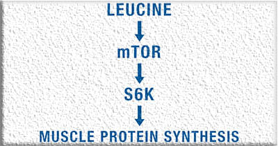 How leucine helps your body