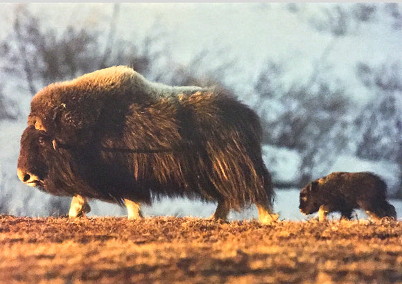 Blank - Musk Ox Mother & Calf