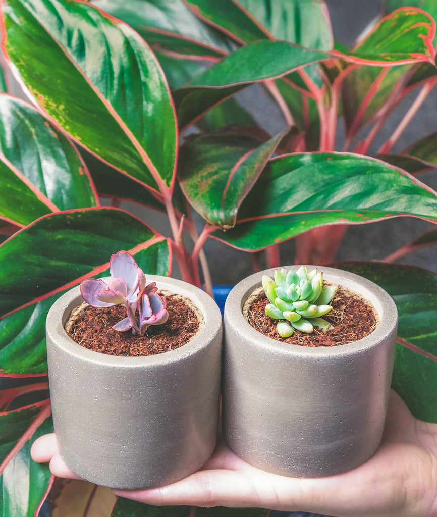 Succulent plant pots with two baby succulents - best succulent pots
