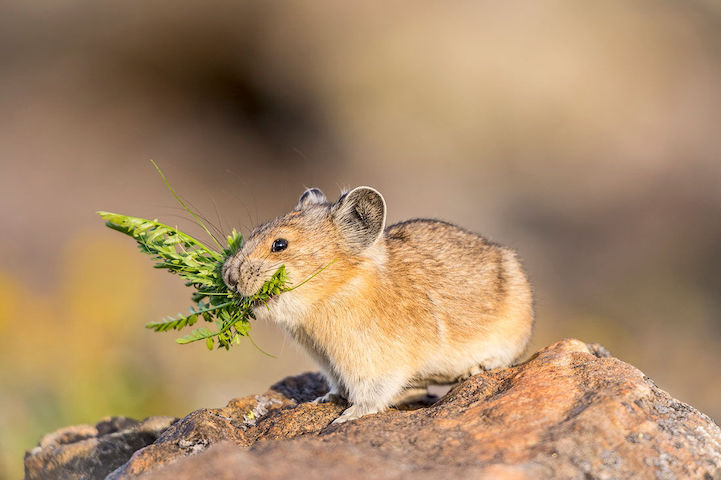 American Pika holding flowers. Join Articles In Common in their mission to get the American Pika protected by the  Endangered Species Act.