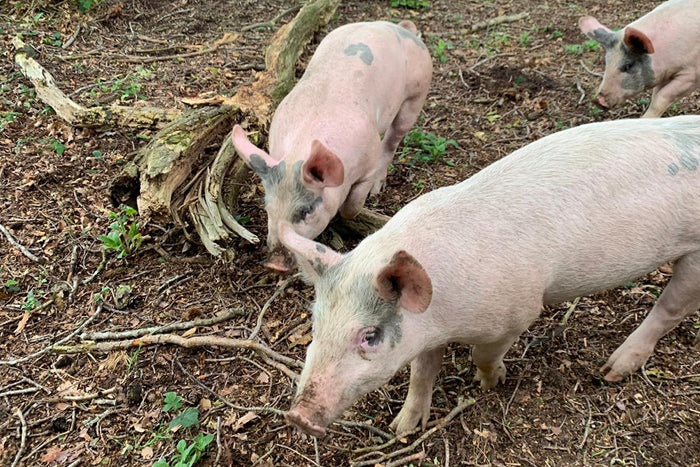 youngs farm pigs