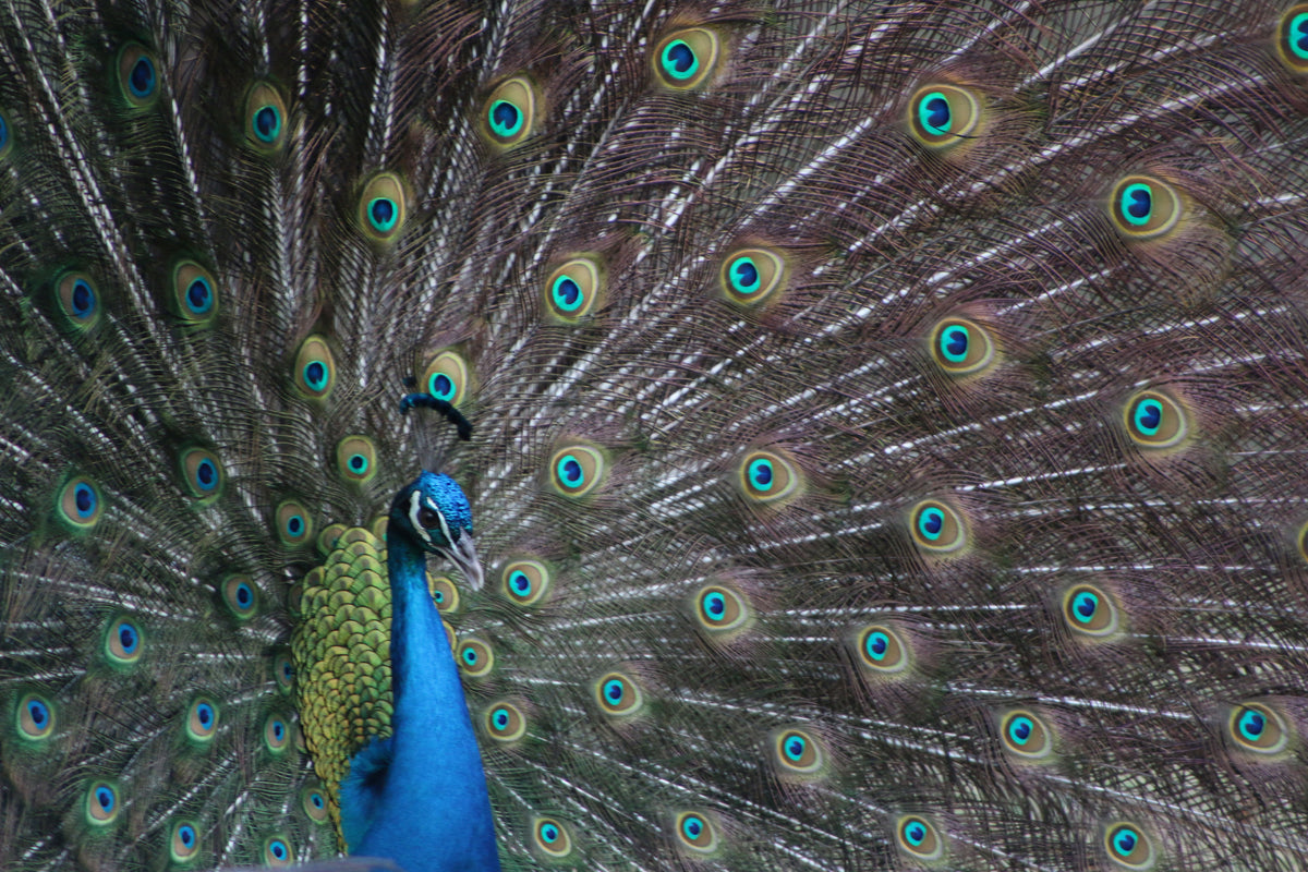 Peacock Full Plumage