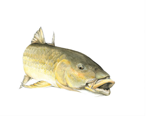 Largemouth Yellowfish