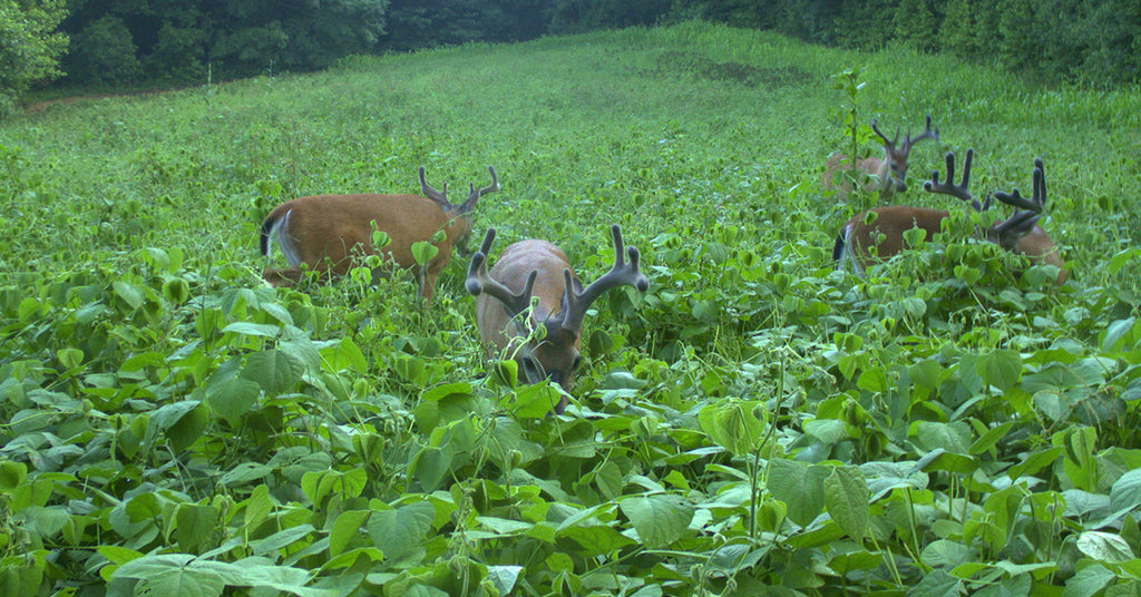 SPRING FOOD PLOTS HELP WHITETAILS RECOVER FROM STRESS