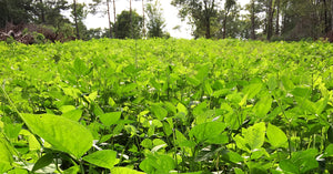 Spring Food Plots | What, When, and How